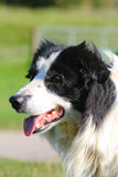 Border Collie Royalty Free Stock Photography