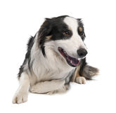 Border Collie (18 months old) Royalty Free Stock Photos