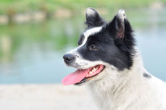 Border collie. Outstretch its tongue Stock Images
