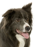 Border Collie (2 years) Stock Images