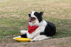 Border collie. A border collie waits patiently for his masters commands Royalty Free Stock Image