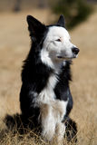 Border collie. A border collie dog sitting upright in beautiful sunlight Royalty Free Stock Images