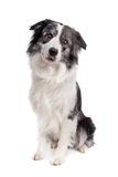 Border Collie Stock Photos