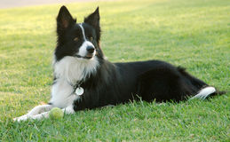 Border collie. Black and white border collie guardin ball in the park royalty free stock image