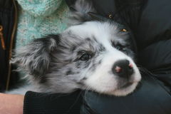 Border Collie Stock Image