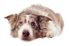 Border collie. Portrait of purebred border collie in front of white background stock photography
