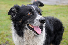 Border collie. Sheep dog in the fields royalty free stock images