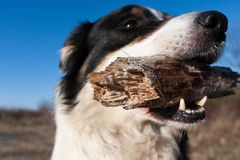 Border-Collie Stockbilder