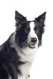 Border Collie royalty free stock photos
