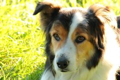 Border Collie 3 Royalty Free Stock Images