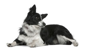 Border collie, 3 years old, lying royalty free stock photo