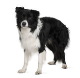 Border collie, 3 years old, standing Royalty Free Stock Image