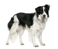 Border collie, 3 years old, standing Royalty Free Stock Images