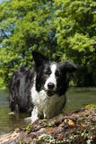 Border collie Obrazy Royalty Free