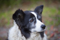 Border collie Royaltyfri Bild