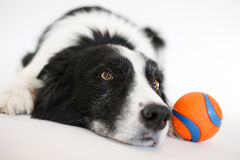 Border collie Stock Foto