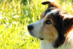 Border Collie 4 Royalty Free Stock Image