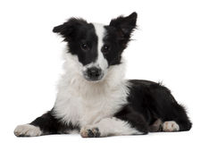 Border Collie, 4 months old, lying Royalty Free Stock Photos