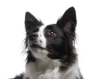 Border Collie (4 years) royalty free stock images