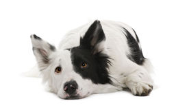 Border collie, 4 years old Royalty Free Stock Photos