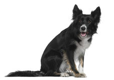 Border Collie, 4 years old, sitting Royalty Free Stock Image