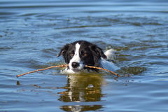 Border collie Stockbild