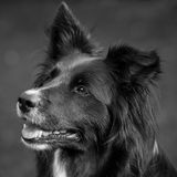 Border collie Photographie stock libre de droits