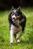 Border collie Image stock
