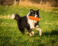 Border collie Images stock