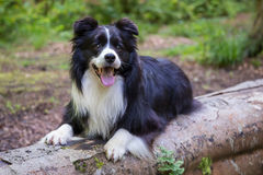 Border collie Photographie stock