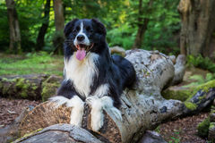 Border collie Image libre de droits