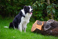 Border collie Fotos de Stock Royalty Free