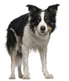 Border Collie, 5 and a half years old, standing Stock Photos