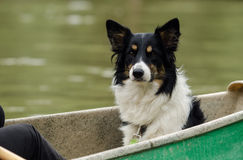 Border collie Royalty-vrije Stock Fotografie