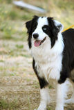 Border collie Lizenzfreies Stockfoto