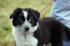 Border Collie. Black and white border collie puppy with one blue eye out on a walk Royalty Free Stock Photo