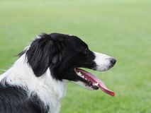 Border collie. Head and shoulders portrait of black and white border collie in profile Royalty Free Stock Image