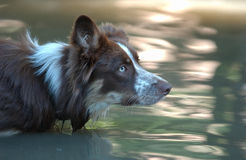 Border Collie. Bordercollie is waiting of his Toy Stock Photos