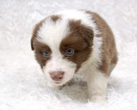 Border Collie Stock Photography