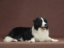 Border Collie royalty free stock image
