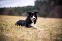 Border collie Images libres de droits