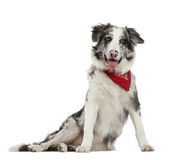 Border Collie, 7 months old, sitting Royalty Free Stock Images