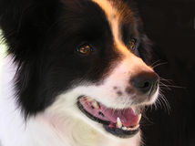border collie, Fotografia Stock