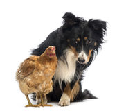 Border Collie, 8.5 years old, sitting behind a hen and looking at it Stock Photography