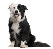 Border Collie, 8 and a half years old, sitting royalty free stock photography