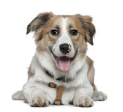 Border Collie, 8 months old, lying Stock Image