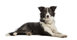 Border Collie, 8 months old, lying and looking at the camera Royalty Free Stock Photography