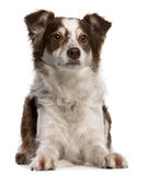 Border Collie, 8 months old, sitting Stock Photography