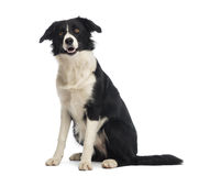 Border Collie, 8 months old, sitting and looking up Stock Image