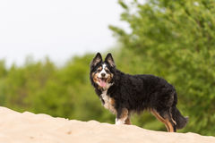 Border collie Lizenzfreies Stockbild